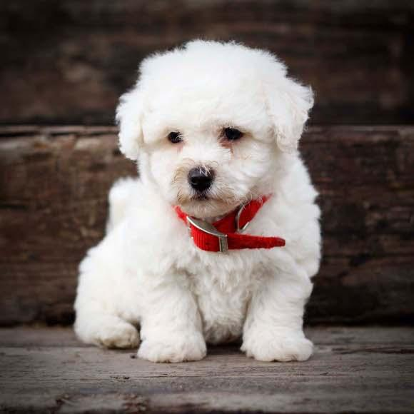 The Bichon Frise