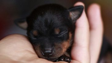 Smallest Dog Breeds